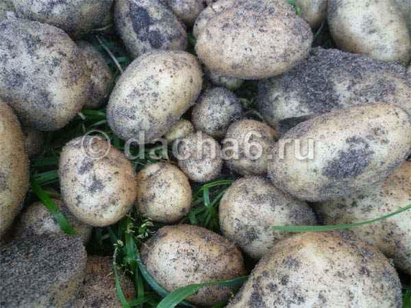 7 правил хранения картофеля зимой