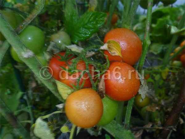 Чем и как подкормить помидоры в открытом грунте и теплице