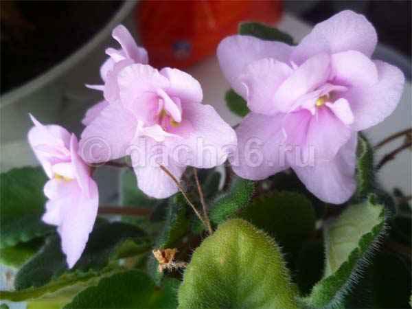 Чем подкармливать фиалки для обильного цветения?