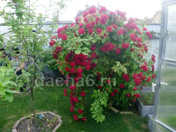 Чем подкормить плетистые розы во время цветения