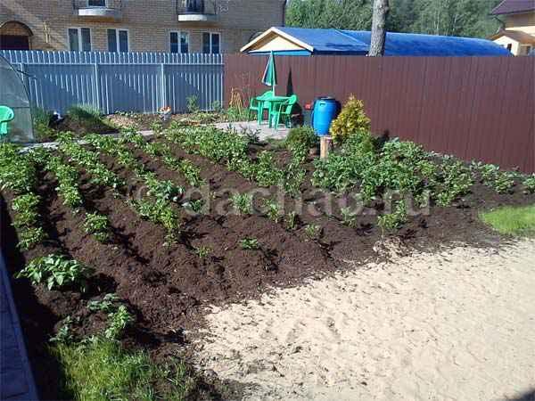 Что растет на песчаных почвах в огороде?