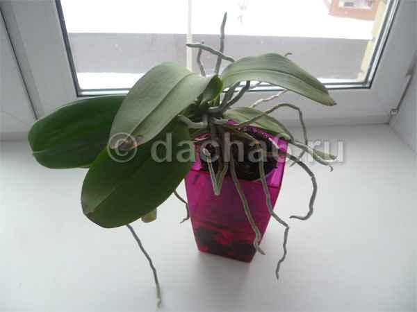 Что вредно для орхидеи, 5 ошибок в уходе