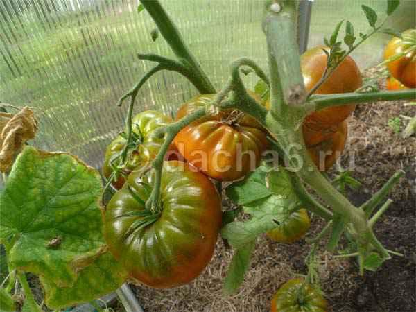 Цион: удобрение или питательная добавка, состав и применение