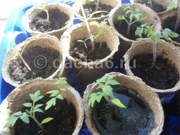 Допустимость пикировки нескольких томатов в 1 горшочек