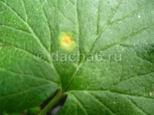 Желтые пятна на листьях смородины или бокальчатая ржавчина