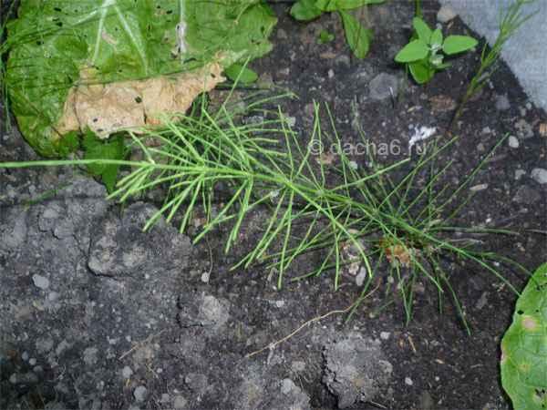 Как избавиться от хвоща полевого на огороде