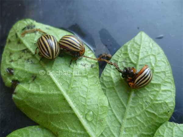14 способов, как избавиться от колорадского жука. Время действовать!