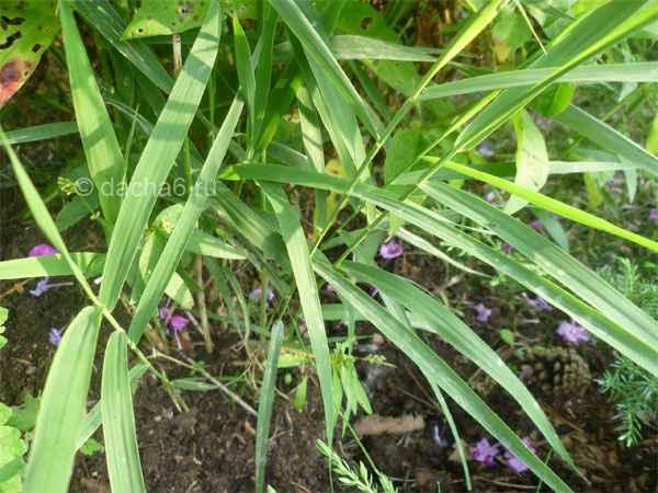 борьба с пыреем на огороде