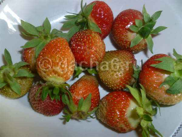 Как продлить плодоношение клубники