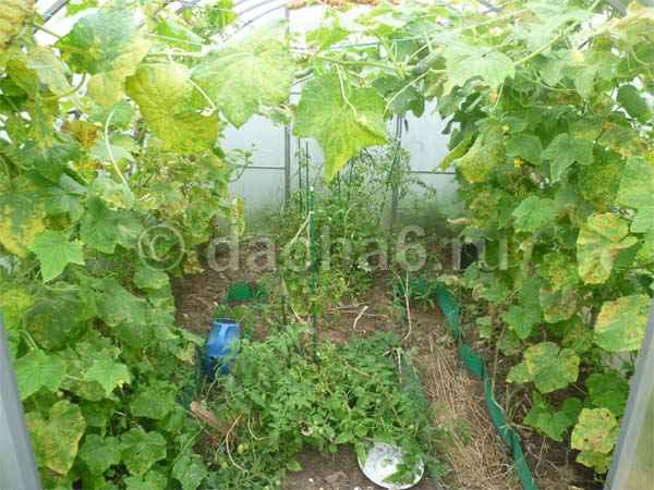Как продлить плодоношение огурцов в августе?