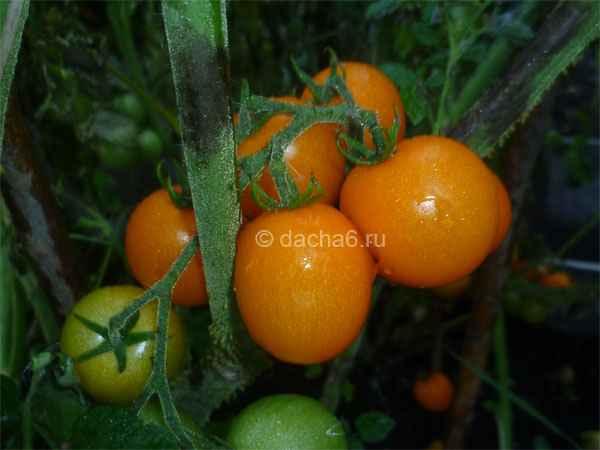 Как ухаживать за помидорами в августе