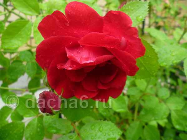 Как укрыть чайно гибридные розы на зиму