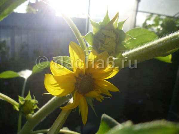 Как выращивать подсолнухи на даче