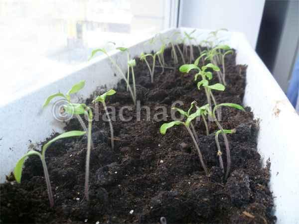 Какой пророщенный росток томата готов к посадке