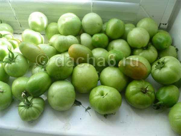 Когда снимать помидоры в теплице на дозревание в Подмосковье