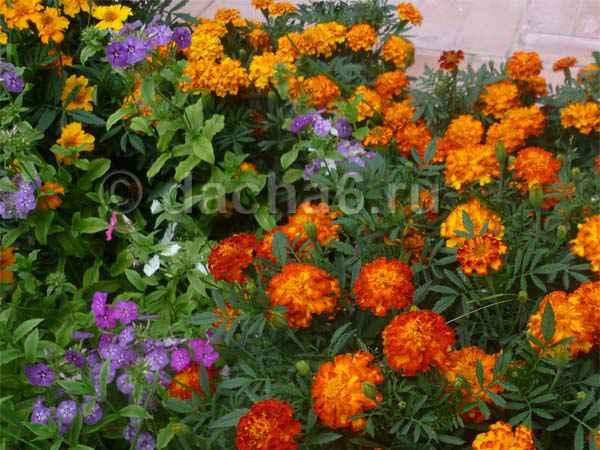 Неприхотливые однолетние и многолетние цветы для кладбища