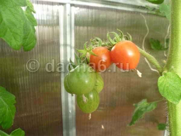 Несколько правил по выращиванию тепличных томатов
