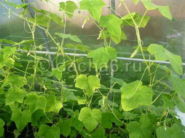 Нужно ли обрезать нижние листья у огурцов в теплице