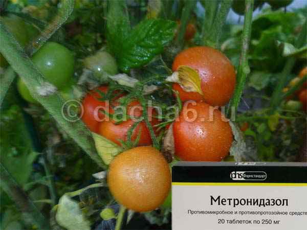 Обработка томатов «Метронидазолом» от фитофторы