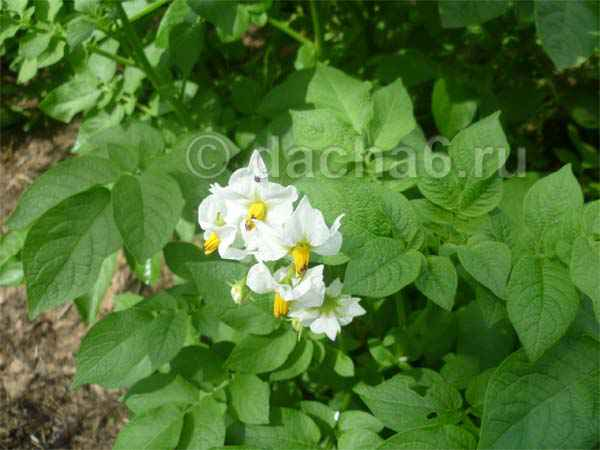 Обрывать ли цветы у картофеля?