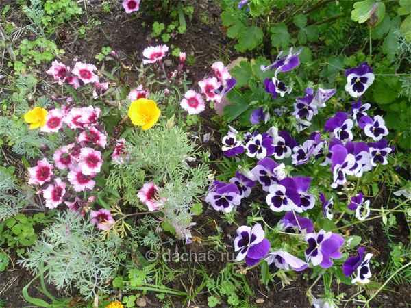 Однолетние цветы цветущие все лето без рассады