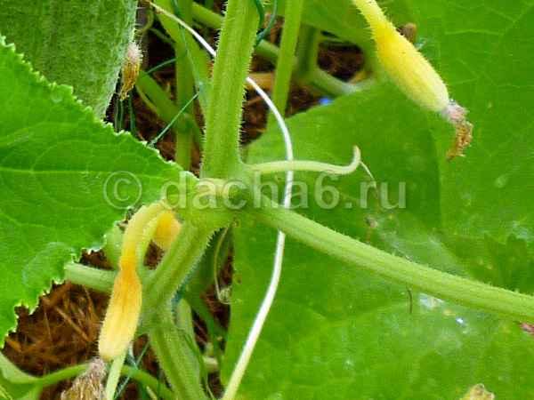 Огурцы желтеют в теплице: что делать, фото, видео