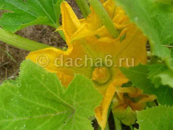 Почему желтеют листья у кабачков
