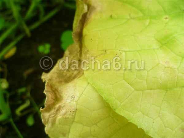 Почему желтеют нижние листья у огурцов в теплице и как с этим бороться