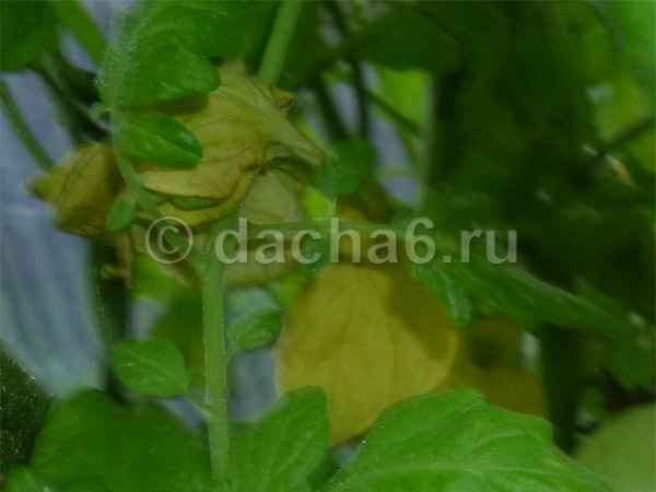 Почему желтеют помидоры в теплице из поликарбоната