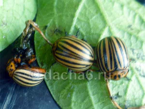 Почему нельзя давить колорадских жуков и личинок