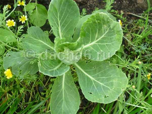Почему скручиваются листья у капусты?