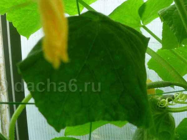 Почему вянут листья у огурцов в теплице