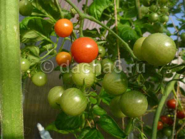 Поможет ли обработка помидоров фурацилином от фитофторы
