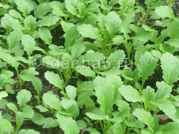 Сидераты в междурядьях картофеля и клубники