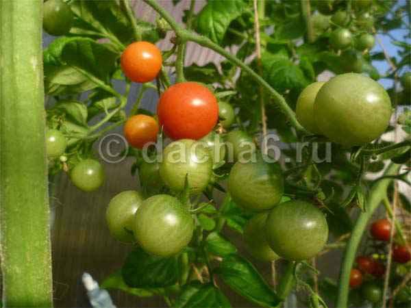 Сорта томатов, которые долго хранятся
