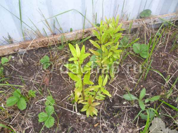 Выращивание граната в открытом грунте в средней полосе