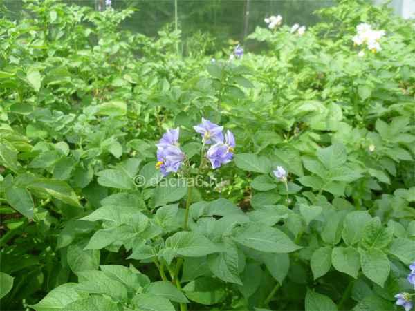 Выращивание картофеля с умом без прополки и окучивания