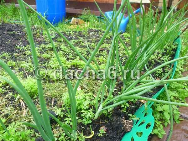 Выращивание лука на перо из севка в открытом грунте