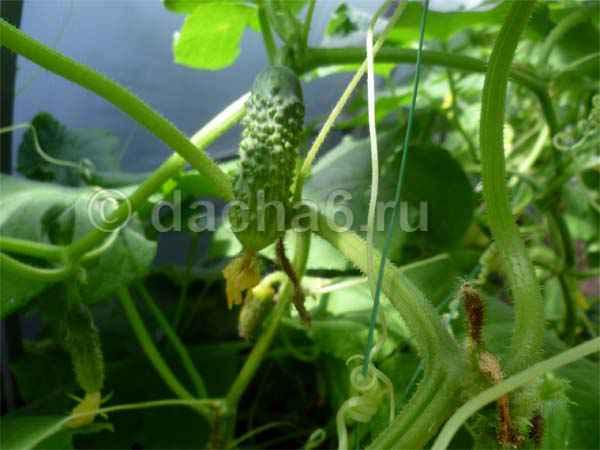 Выращивание огурцов Маша F1