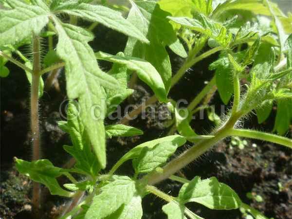 Выращивание рассады томатов без пикировки в 5 литровых бутылках
