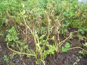 Болезни картофеля: фото и краткое описание