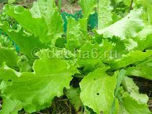 Что можно посадить после чеснока в июле?