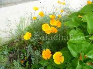 Эшшольция калифорнийский мак: фото, выращивание, лечебные свойства