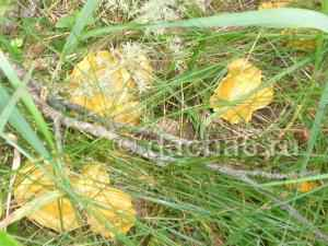 Где в лесу растут грибы лисички