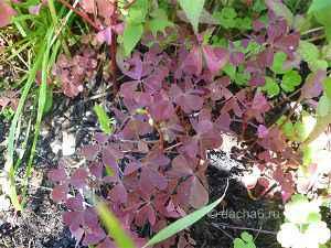 Как избавиться от кислицы рожковой на огороде и дома