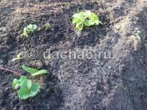 Как пересадить клубнику осенью на новое место