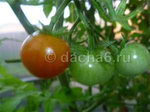 Как поливать помидоры в теплице из поликарбоната