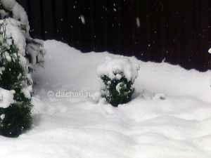 Как укрыть самшит на зиму