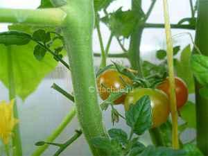 Когда краснеют помидоры в теплице