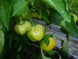 Огурцы, помидоры, перцы, баклажаны в одной теплице